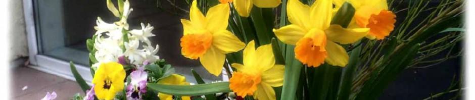 Frühlingsblumen an der Kipsdorfer Straße: Narzissen alias Osterglocken und Stiefmütterchen (?). Foto: hw