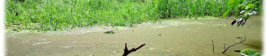 Der Bergmolchteich Rochwitz verlandet immer wieder - auch weil Kinder gerne den Wasserzufluss stauen. In jüngster Zeit ist er aber wieder vollgelaufen und beherbergt laut einigen Berichten zumindest wieder Frösche. Foto: Heiko Weckbrodt