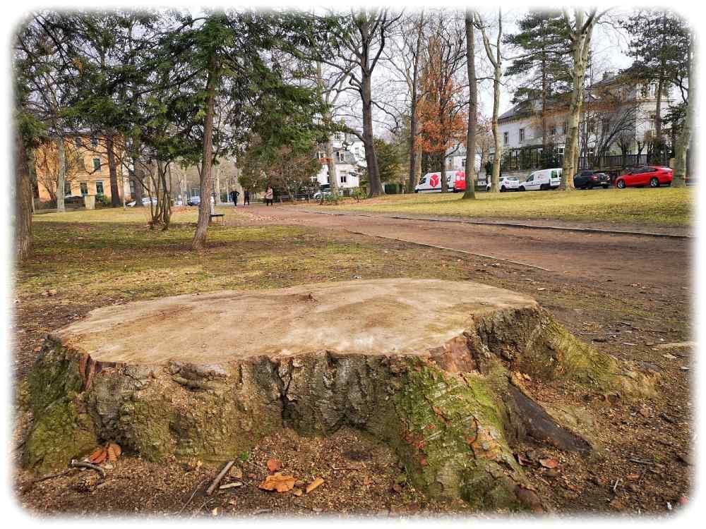 Die Stadtverwaltung hat bereits einige Bäume am auf dem Friedensplatz fällen lassen, weil sie innerlich marode waren und letztlich umzufallen drohten. Foto: Heiko Weckbrodt
