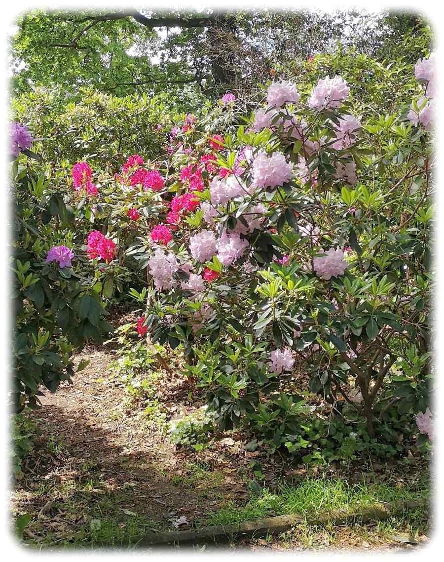 Momentaufnahme im Mai: Die Rhododendren blühen derzeit im Hermann-Seidel-Park. Foto: Ralf Dießelmann